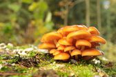 Orange mushrooms on a tree stump — Stock Photo