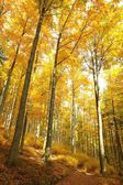 Beech Forest in colors of autumn. — Stock Photo