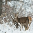 Roe deer — Stockfoto