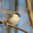 Stock Photo: Marsh Tit