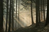 Misty coniferous forest at sunrise — Stock Photo