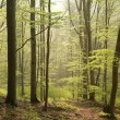 Spring beech forest — Stock Photo #45747831