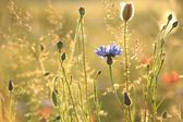 Cornflower at sunset — Stock Photo