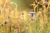 Cornflower — ストック写真
