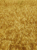 Wheat ears background — Stock Photo