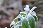 Green Leafs with White Frost — Stock Photo