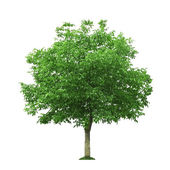 Walnut tree — Stock Photo