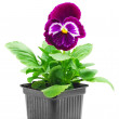 Pansy flower — Stock Photo #46495009