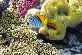 Coral and fish in the Red Sea.Butterfly fish.Egypt — Photo