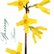 Forsythia flowers on white background.Isolated. - Stock Photo