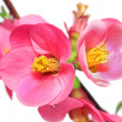 Flowers of Chaenomeles Japonica (Japanese Quince) blossoming.  I - Stock Photo