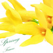 Stock Photo: Forsythiflowers on white background.Isolated.