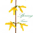 Forsythia flowers on white background.Isolated. — Stock Photo #23073244