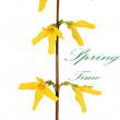 Forsythia flowers on white background.Isolated. — Stock Photo