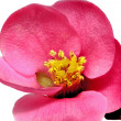 Flowers of Chaenomeles Japonica (Japanese Quince) blossoming. I — Stock Photo