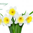 Beautiful spring flowers : yellow-white narcissus (Daffodil) — Stock Photo #23073362