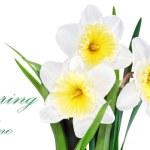 Beautiful spring three flowers : yellow-white narcissus (Daffod — Stock Photo #23162606