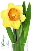 Beautiful spring single flower: orange narcissus (Daffodil) — Stock Photo