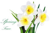 Beautiful spring three flowers : yellow-white narcissus (Daffod — Stock Photo