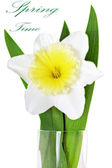 Beautiful spring single flower: yellow-white narcissus (Daffodil — Stock Photo