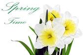 Beautiful spring three flowers : yellow-white narcissus (Daffod — Stock Photo