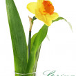 Постер, плакат: Beautiful spring single flower in vase: orange narcissus Daffo