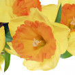 Beautiful spring flowers : orange narcissus (Daffodil) — Stock Photo #23229756