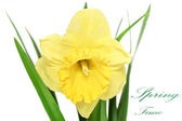 Beautiful spring single flower: yellow narcissus (Daffodil) — Stock Photo