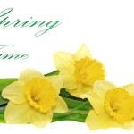 Beautiful spring three flowers : yellow narcissus (Daffodil) — Stock Photo