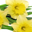 Stock Photo: Beautiful spring three flowers : yellow narcissus (Daffodil)