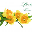 Beautiful spring three flowers : yellow narcissus (Daffodil) — Stock Photo #23494249