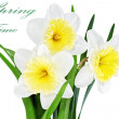Beautiful spring flowers : yellow-white narcissus (Daffodil) — Stock Photo