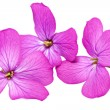 Stock Photo: Three violet flowers.Closeup on white background. Isolated .