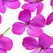 A lot of violet flowers.Closeup on white background. Isolated . — Stock Photo