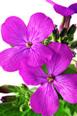 Beautiful violet flower.Closeup on white background. Isolated . — Stock Photo