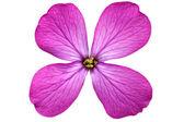 Single violet flower.Closeup on white background. Isolated . — Stock Photo