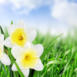 Stock Photo: Beautiful spring flowers background -narcissus (Daffodil) .