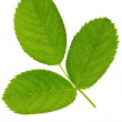 Three green leaf isolated on white background . — Stock Photo