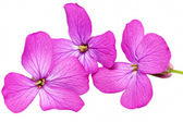 Three violet flowers.Closeup on white background. Isolated . — Foto Stock