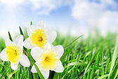 Beautiful spring flowers background -narcissus (Daffodil) . — Stock Photo