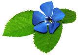 Fioletowy kwiat na .closeup zielony liść na białym tle. — Zdjęcie stockowe