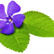 Violet flower on green leaf .Closeup on white background. - Stock Photo
