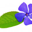 Violet flower on green leaf .Closeup on white background. — Stock Photo