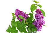 Beautiful Lilac in the Vase. Isolated over white . — Stock Photo