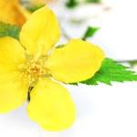 Single Marsh Marigold Yellow wildflowers isolated . — Stock Photo #24299499