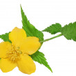 Single Marsh Marigold Yellow wildflowers isolated . — Stock Photo #24299815