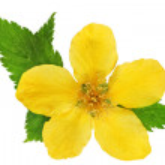 Single Marsh Marigold Yellow wildflowers isolated . — Stock Photo #24299887