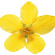 Single Marsh Marigold Yellow wildflowers isolated . — Stock Photo