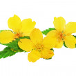 Marsh Marigold Yellow wildflowers isolated on white background — Stock Photo #24300097