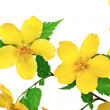 Marsh Marigold Yellow wildflowers isolated on white background — Stock Photo